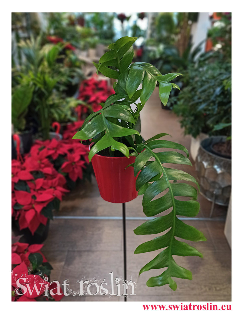 rośliny doniczkowe, kwiaty doniczkowe, Epiphyllum Chrysocardium, Phyllocactus, Epifyllum Chrysocardium
