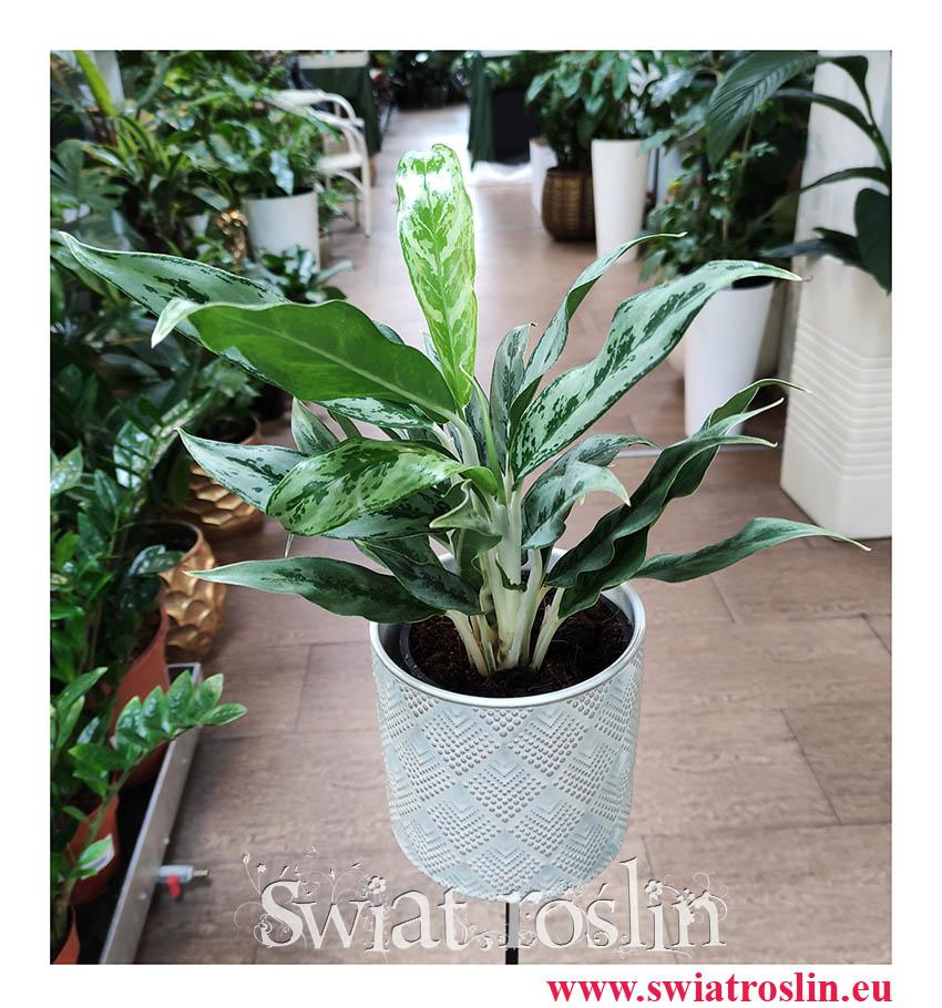 Aglaonema Greyhund, Aglonema Greyhund, rośliny do biura, rośliny na parapert