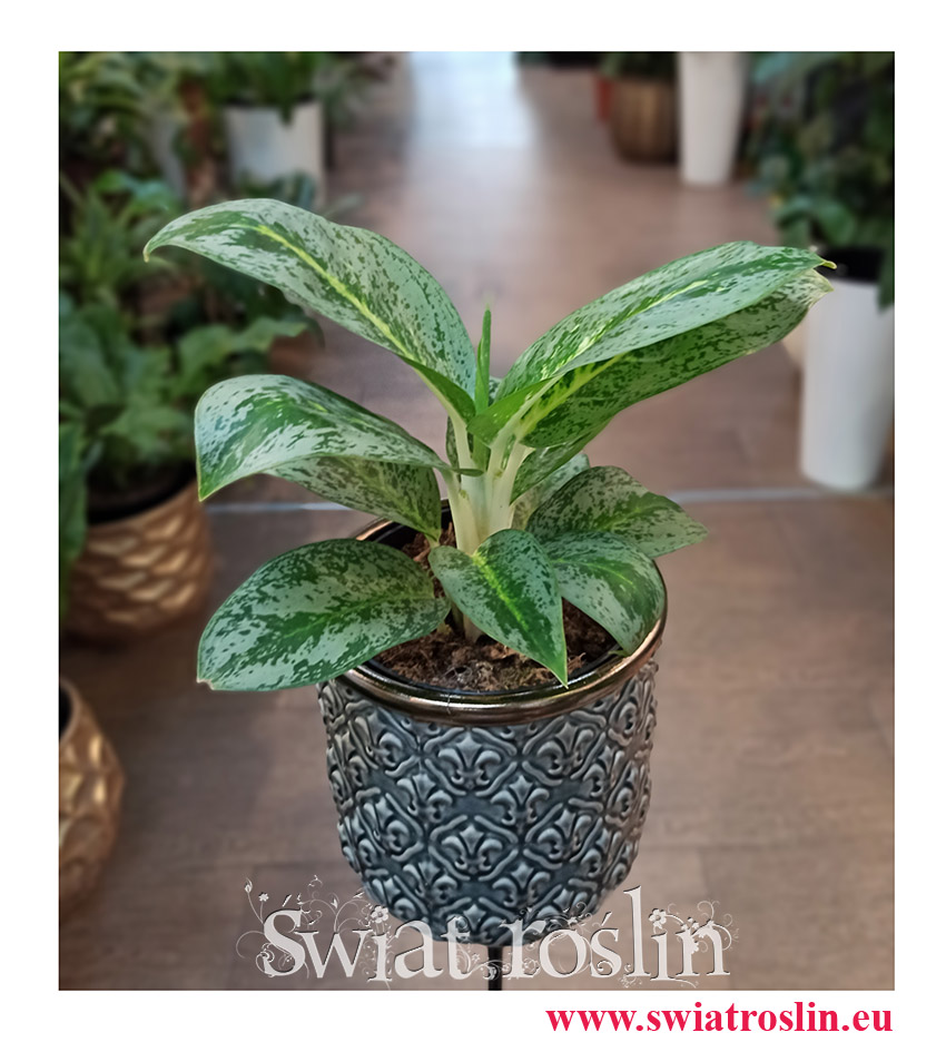 Aglaonema Lemon Mint, Aglonema Lemon Mint, popularne rośliny doniczkowe, kolekcjonerskie rośliny