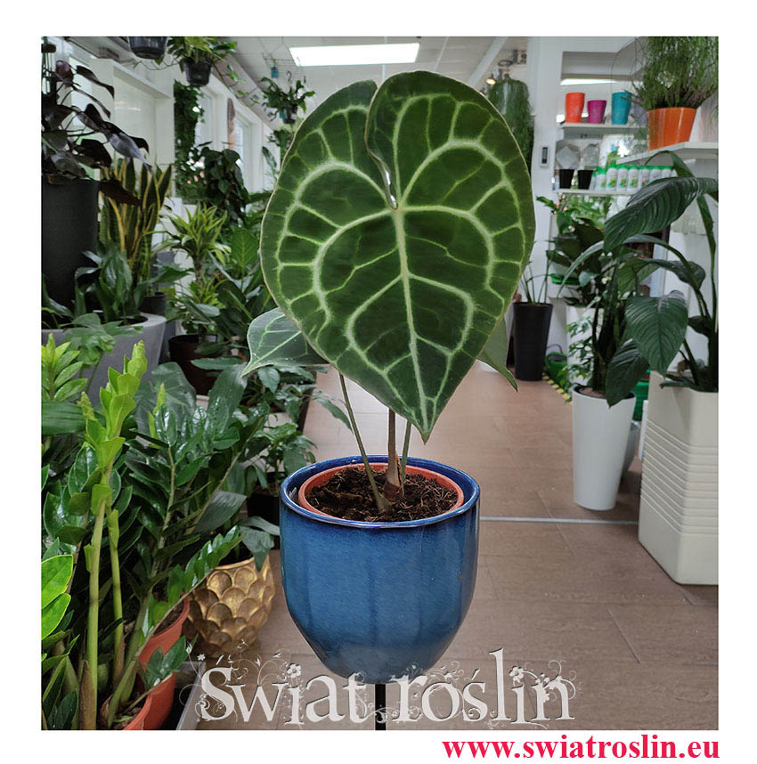 Anturium Clarinervium, Anthurium Clarinervium, rośliny do biura, rośliny kolekcjonerskie