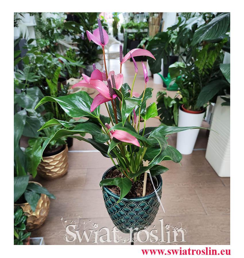 Anturium Zizou, Anthurium Zizou, Kitnia, kwiaty dniczkowe, modne rośliny doniczkowe, popularne rosliny doniczkowe