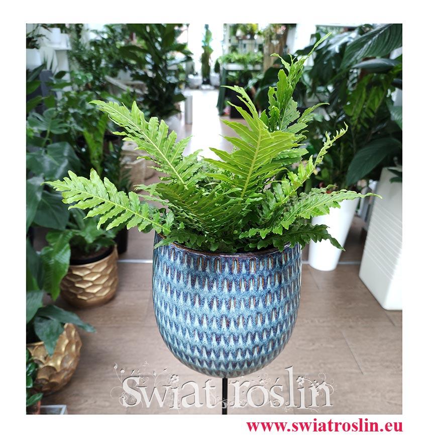 Blechnum Gibbum Silver Lady, Podrzeń Garbaty, Paproć Silver Lady, kwiaty doniczkowe, rośliny na parapet