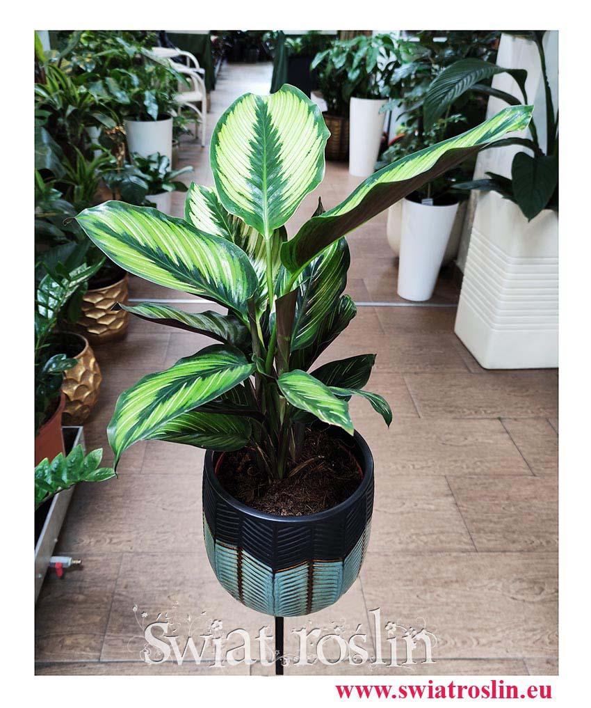 Calathea Beauty Star, Kalatea Beauty Star, popularne rośliny doniczkowe, kwiaty doniczkowe