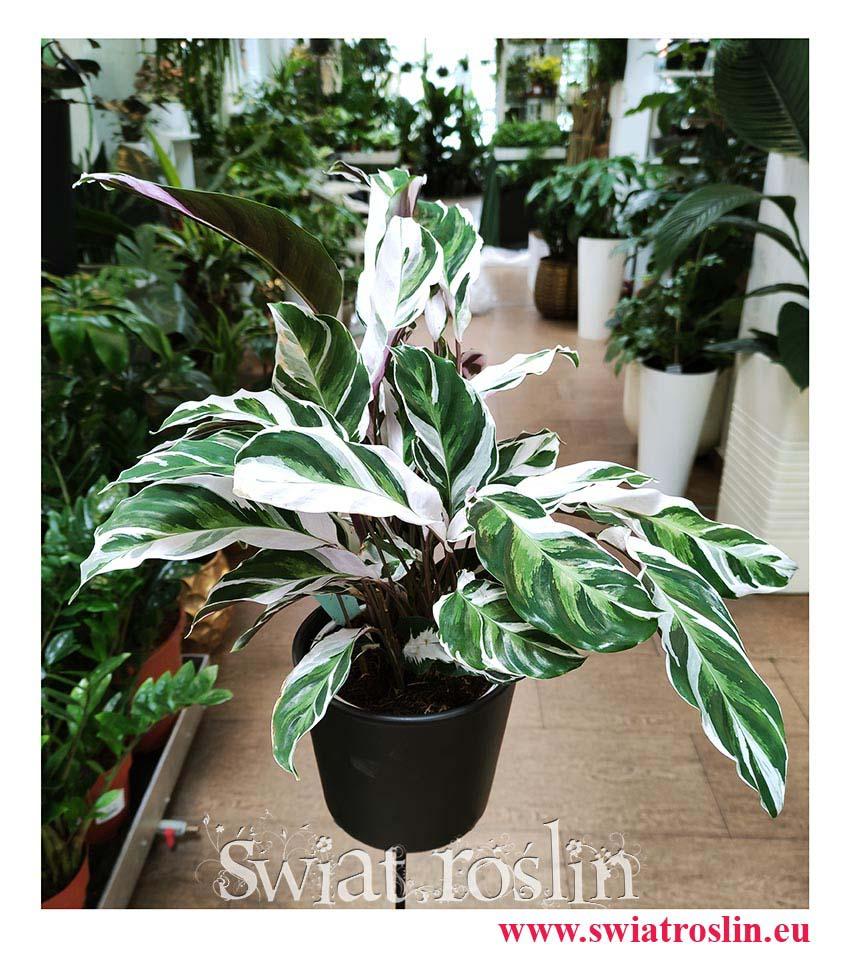 Calathea White Fusion, Kalatea White Fusion, rośliny z instagrama, rośliny tropikalne