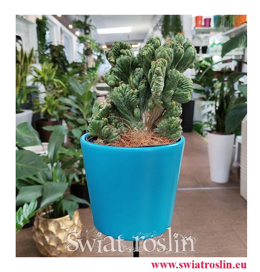 Cereus, Cereus Monstrosusa, Pałczak Monstrosusa, kaktusy, sukulenty, rośliny doniczkowe, kwiaty doniczkowe