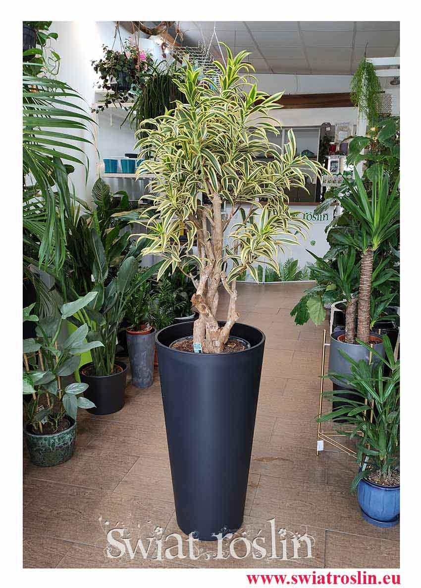 Dracena Reflexa Song of India, Dracaena Reflexa Song of India, Pleomele Reflexa, popularne rośliny, rośliny kraków, duże rośliny doniczkowe