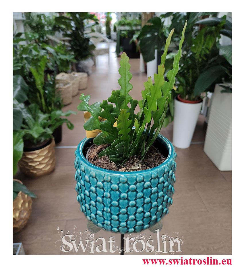 Epiphyllum Anguliger White, Epifyllum Anguliger White, Kaktus Tropikalny, Epiphyllum Anguliger, Epifyllum Anguliger, popularne rośliny