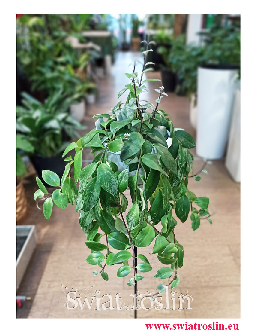 Eschynantus Variegata, Eszynantus Variegata, Aeschynanthus Variegata, Lipstick Plant, popularne rośliny doniczkowe