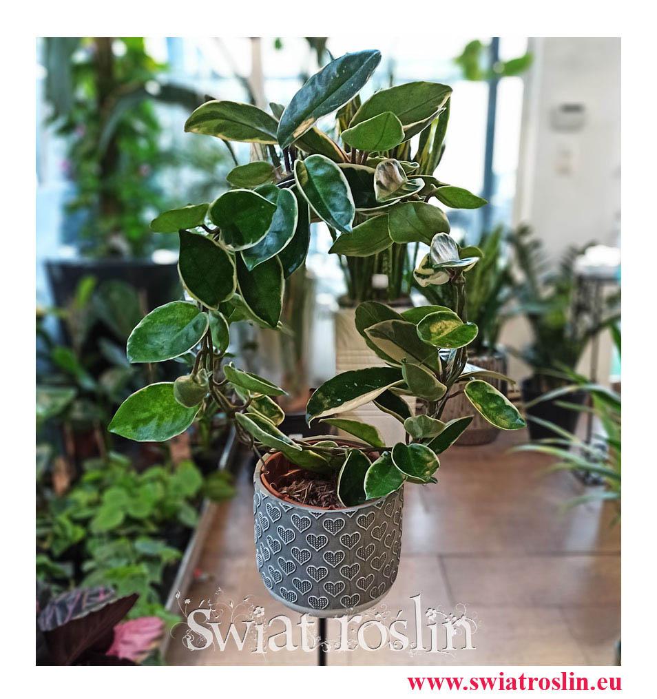 Hoja Australijska Albomarginata, Hoya Australis Albomarginata, Hoya Albomarginata, Hoja Albomarginata, popularne rośliny, modne rośliny