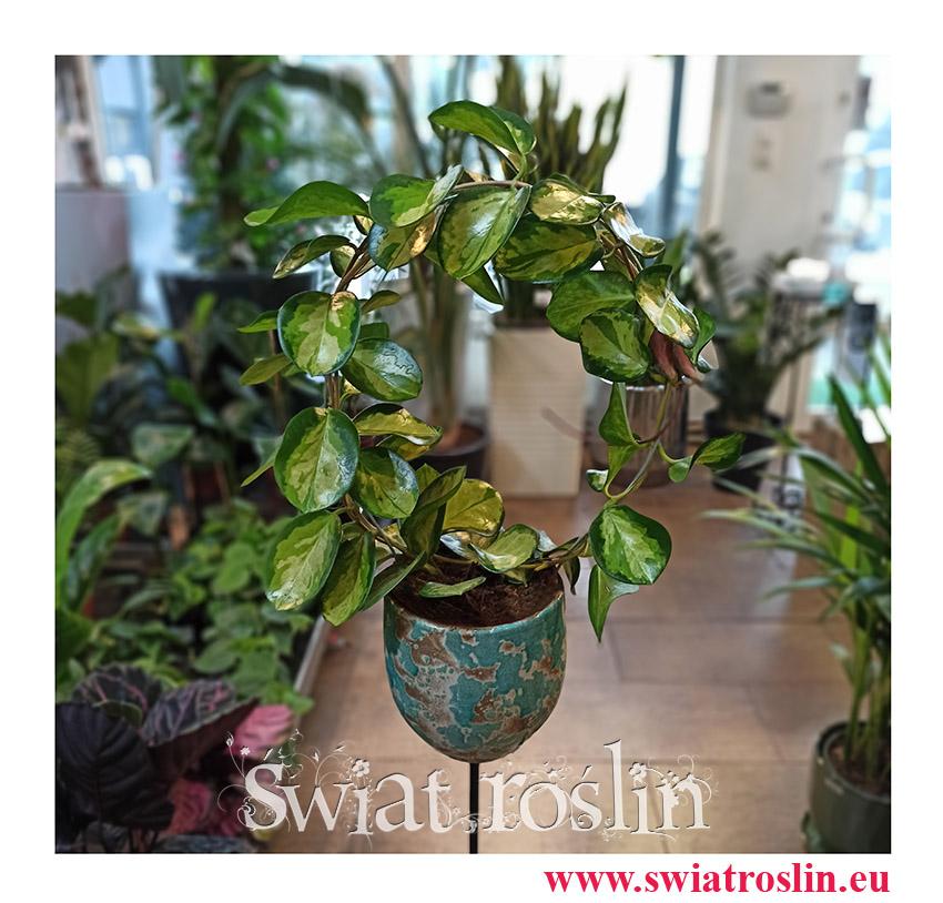 Hoja Australijska Lisa, Hoya Australis Lisa, Hoya Lisa, Hoja Lisa, Woskownica, popularne rosliny, modne rośliny