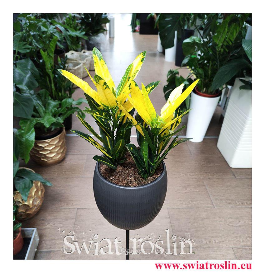 Kroton Sunny Star, Croton Sunny Star, Croton, Trójskrzyn, Codiaeum, Kroton, rosliiny egzotyczne, rośliny tropikalne