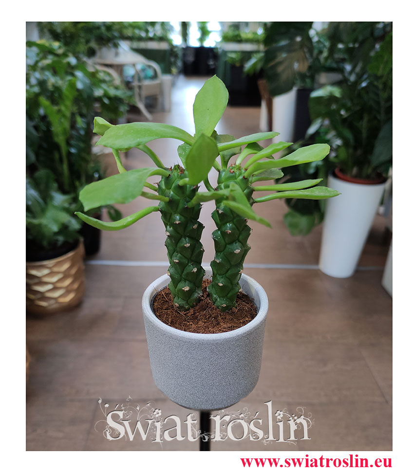 Monadenium Montanum 'Rubellum', Euphorbia Neorubella, popularne rośliny, na zielony parapet, modne rośliny