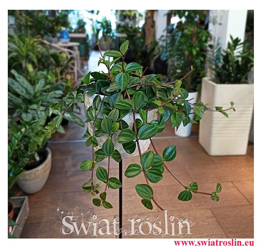 Peperomia Angulata Rocca Scuro, Pieprzówka Angulata Rocca Scuro, popularne rosliny, modne rośliny, rośliny na parapet, pnącza
