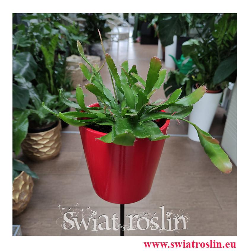 Rhipsalis Red Coral, Rypsalis Red Coral, Kaktus Red Coral, Patyczak, modne rośliny, popularne rośliny