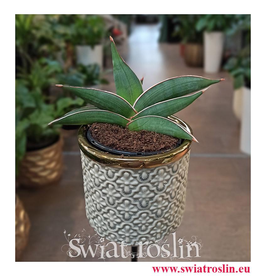 Sansevieria Almond Silver, Sansewieria Almond Silver, rośliny łatwe w uprawie, rośliny z instagrama
