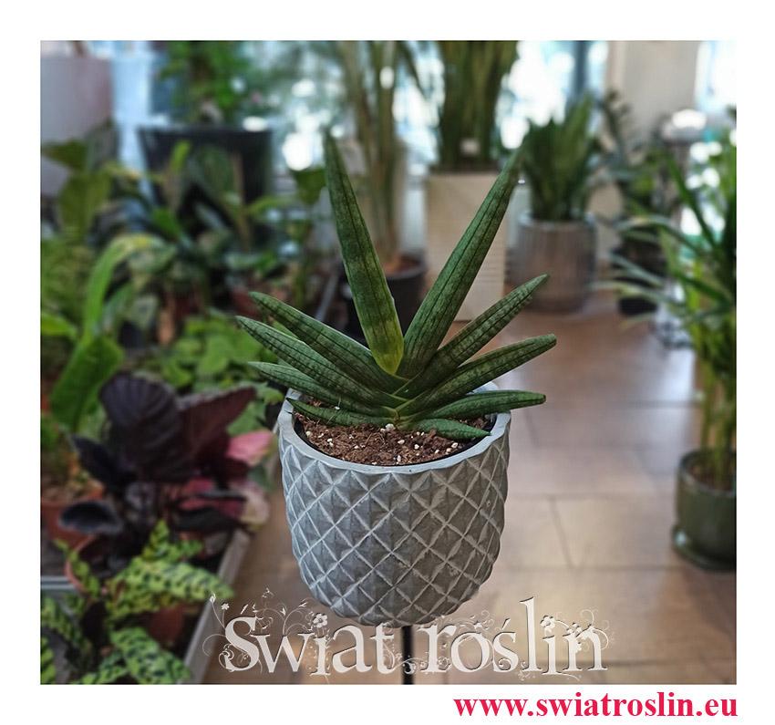 Sansevieria Cylindrica Tiara Dino Green, Sansewieria Cylindrica Tiara Dino Green, Wężownica, populanre rośliny, modne rośliny, kwiaty doniczkowe