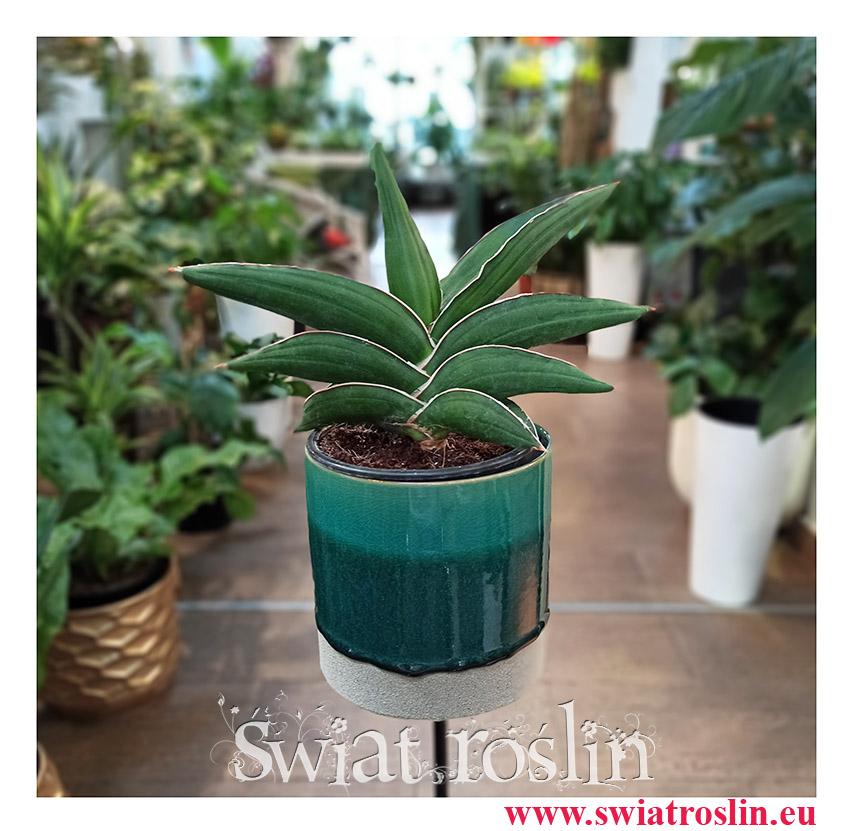 Sansevieria Ehrenbergii Samurai, Sasnewieria Ehrenbergii Samurai, rzadkie rośliny doniczkowe, rośliny kolekcjonerskie