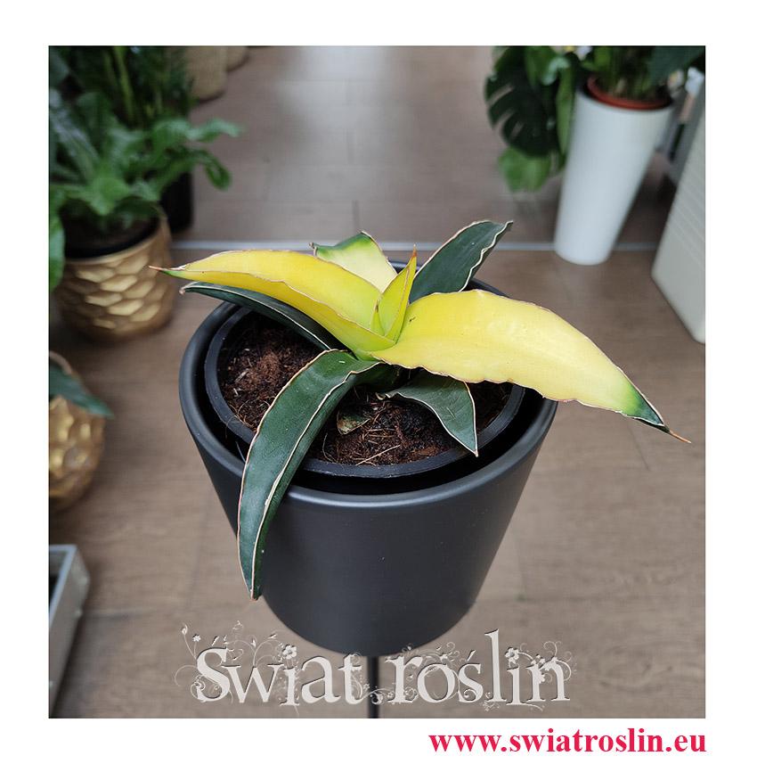 Sansevieria Star Canary, Sansewieria Star Canary, Sansewiera Star Canary, Wężownica, popularne rośliny, modne rośliny