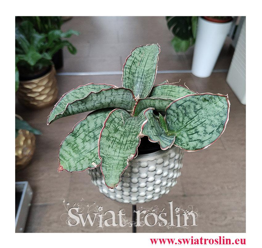 Sansevieria Star Green Granite, Sansewieria Star Green Granite, Sansewiera Star Green Granite, Wężownica, rolsiny na zielony parapet, kwiaty doniczkowe