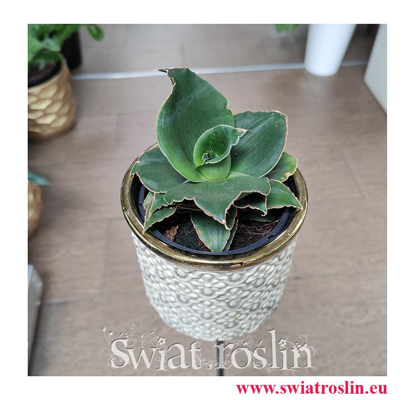 Sansevieria Star Rose, Sansewieria Star Rose, Sansewiera Star Rose, Wężownica, modne rośliny, rosliny na zielony parapet,  rośliny do biura