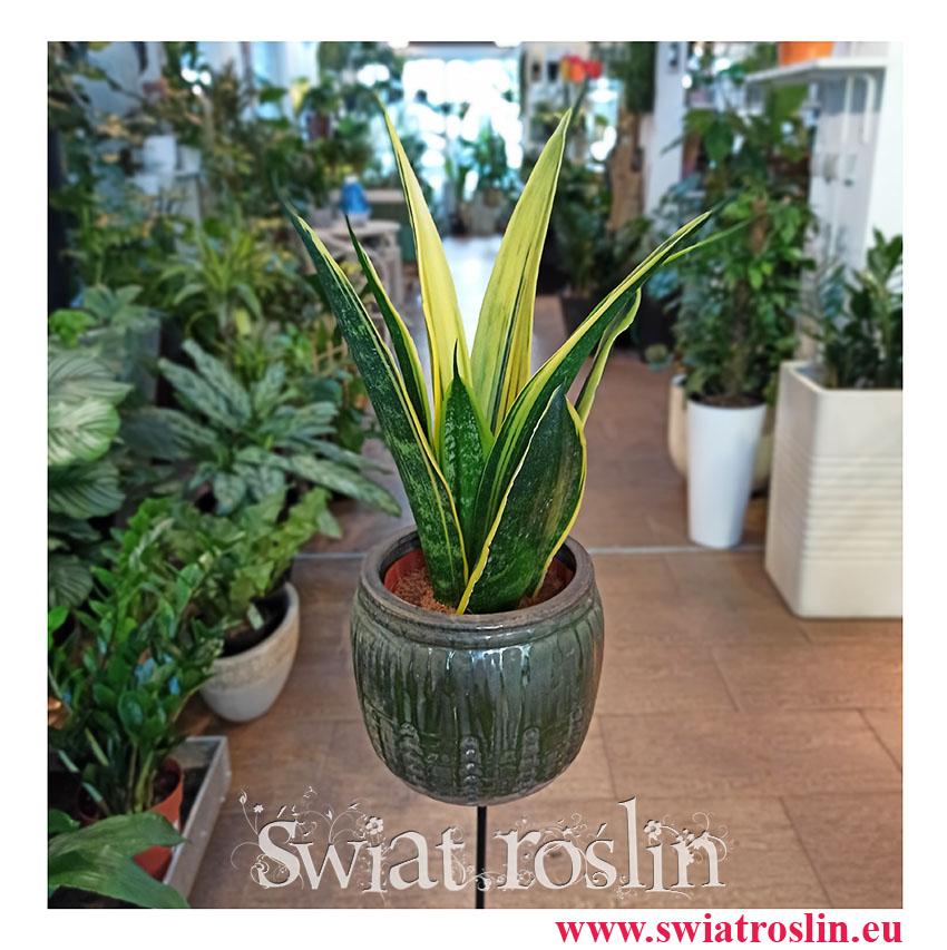 Sansevieria Trifasciata Golden Flame, Sansewieria Trifasciata Golden Flame, modne rośliny, popularne rośliny, oczyszczające powietrze
