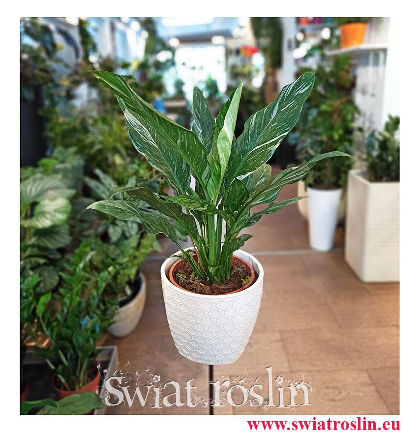 Skrzydłokwiat Variegata Diamond, Spathiphyllum Variegata Diamond, rośliny doniczkowe, rośliny na topie, kraków rośliny, ekskluzywne rośliny