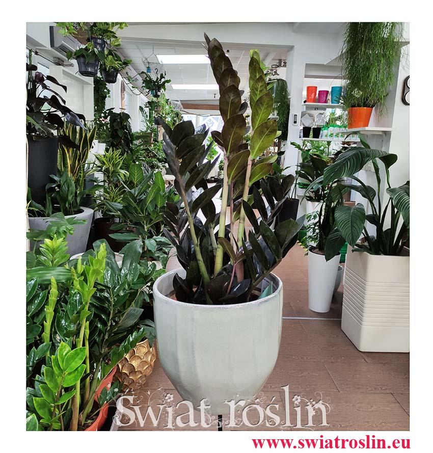 Zamiokulkas Raven, Zamioculcas Raven, kolekcjonerskie rośliny, rośliny egrotyczne, rośliny tropikalne