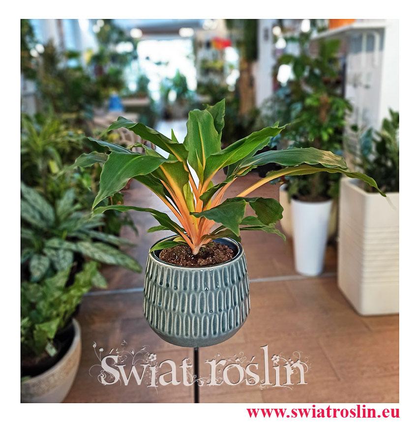 Zielistka Green Orange, Zielistek, Chlorophytum orchidastrum Green Orange, popularne rośliny, rośliny kolekcjonerskie, rosliny doniczkowe