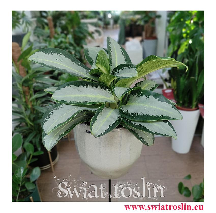 Aglaonema Aquamarina, Aglonema Aquamarina, duże rośliny doniczkowe, wielkie rośliny do domu