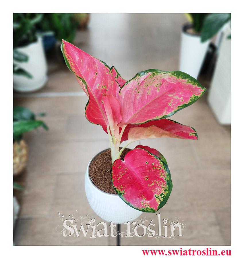 Aglaonema China Red, Aglonema China Red, Aglonema, roślina na zielony parapet, rośliny egzotyczne, rośliny tropikalne