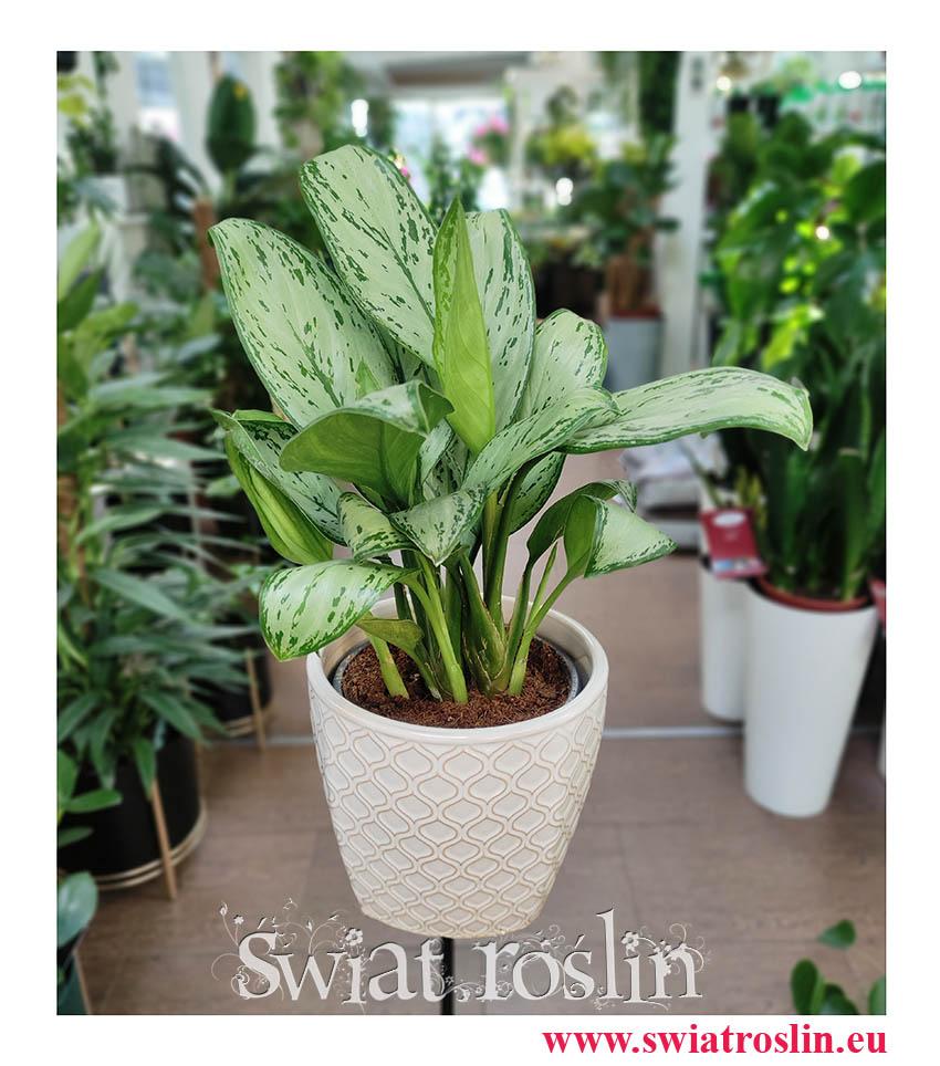 Aglonema Christina, Aglaonema Christina, modne rośliny doniczkowe, popularne rośliny doniczkowe, rośliny z insta