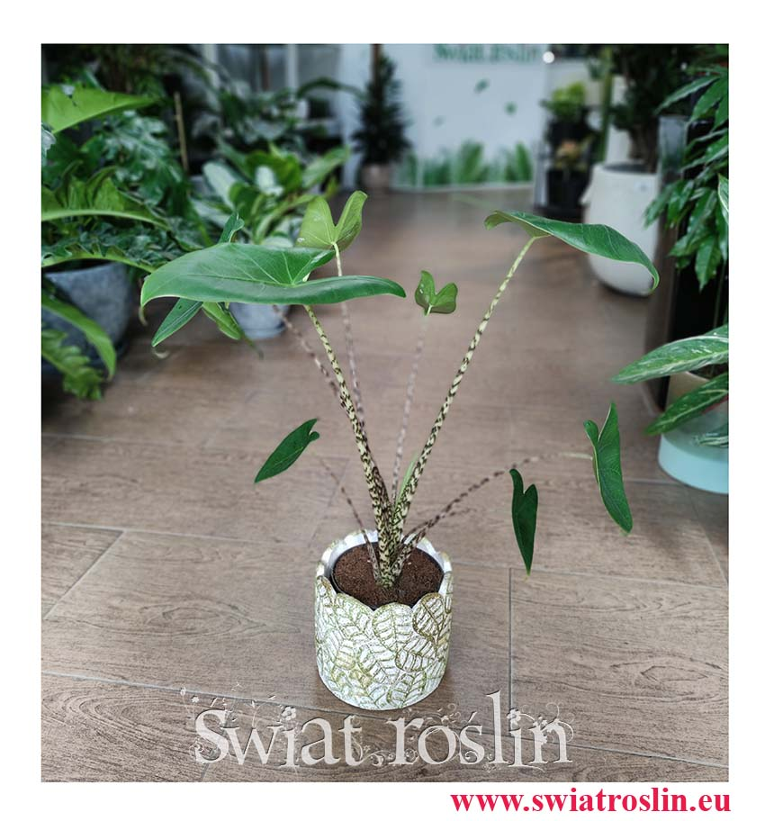 Alocasia Zebrina, Alokazja Zebrina, Zakleśń, Rośliny do biura, rosliny do firmy, sklep z roślinami doniczkowymi