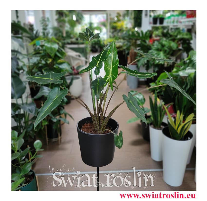 Alokazja Sarian, Alocasia Sarian, Zakleśń, modne rośliny doniczkowe, modne kwiaty doniczkowe, rośliny na zielony parapet