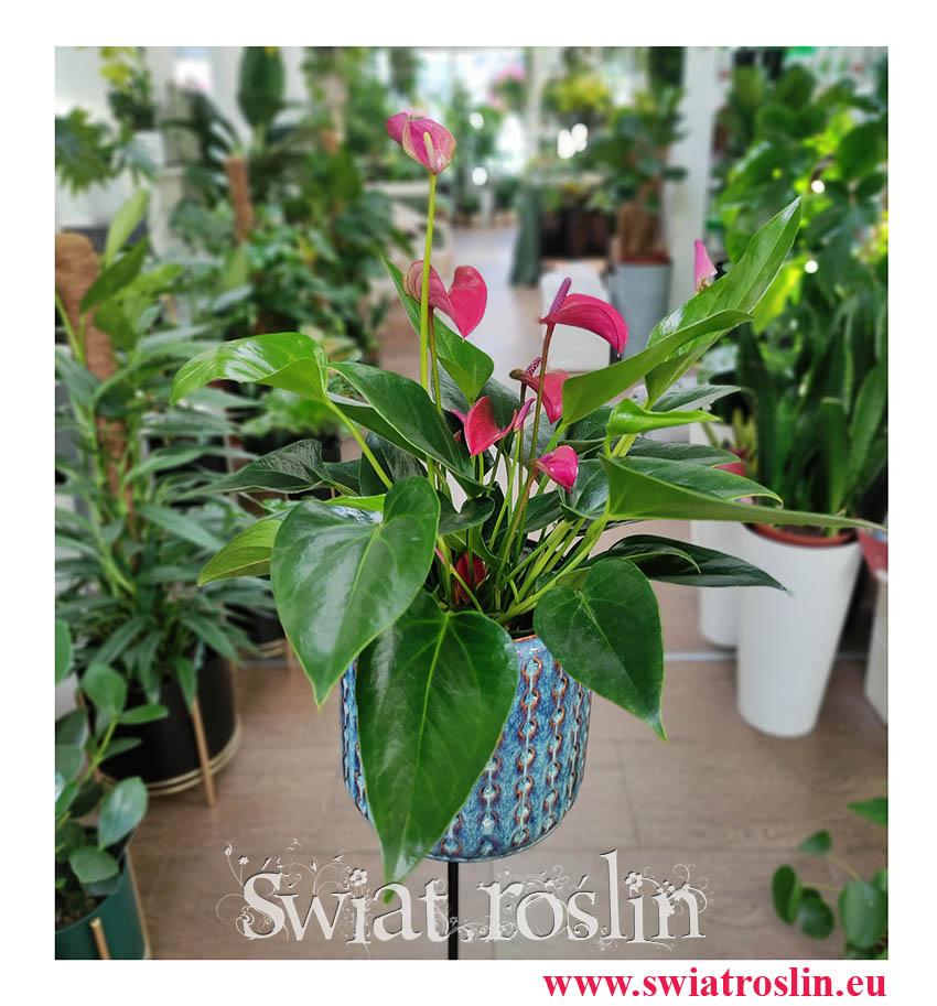 Anthurium Andraeanum Cirano, Anturium Andraeanum Cirano, Kitnia, modne rośliny doniczkowe, sklep z kwiatami doniczkowymi online