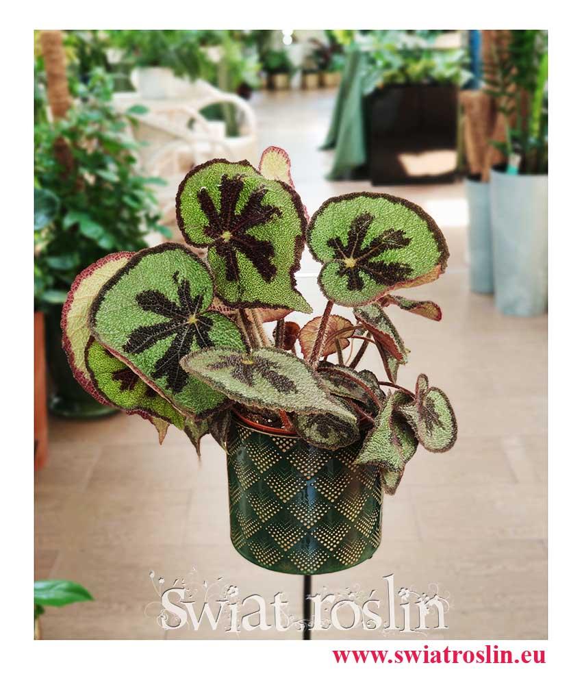 Begonia Masonia Mountain, sklep z roslinami, internetowy sklep z roślinami, sklep z roślinami online