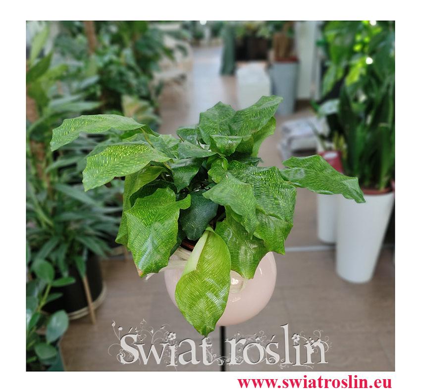 Calathea Network, Kalatea Network, Ostrzeszyn, tropikalne - egzotyczne rośliny doniczkowe