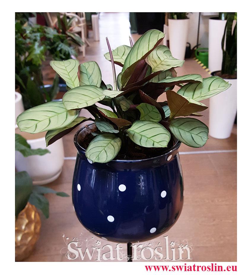 Ctenanthe burle-marxii 'Amagris', Ctenanthe Burle Marxii Amagris, ośliny tropikalne, rośliny egzotyczne, rośliny na zielony parapet