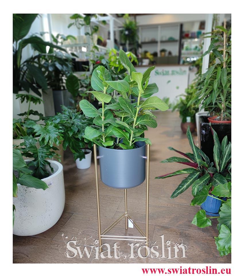 Fikus Bengalski Sunshine, Ficus Benghalensis Sunshine, Figowiec Bengalski Sunshine, Ficus Bengalski Sunshine, rośliny egzotyczne do wnętrz
