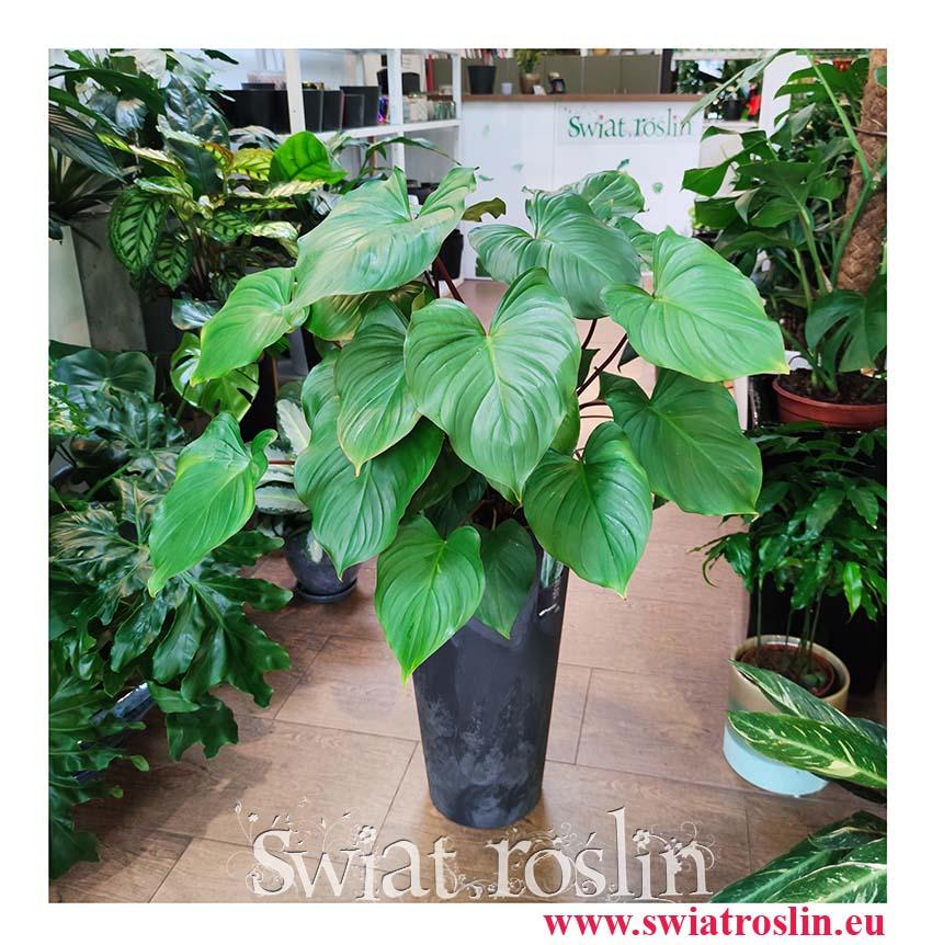 Homalomena rubescens Maggy, Czermiówka Czerwieniejąca, duże rośliny doniczkowe