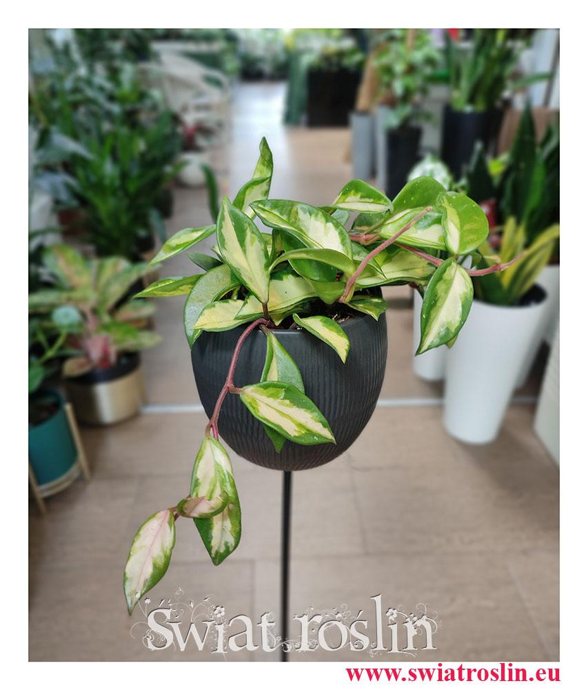 Hoya Carnosa Tricolor, Hoja Carnosa Tricolor, Woskownica, rośliny tropikalne, rośliny egzotyczne