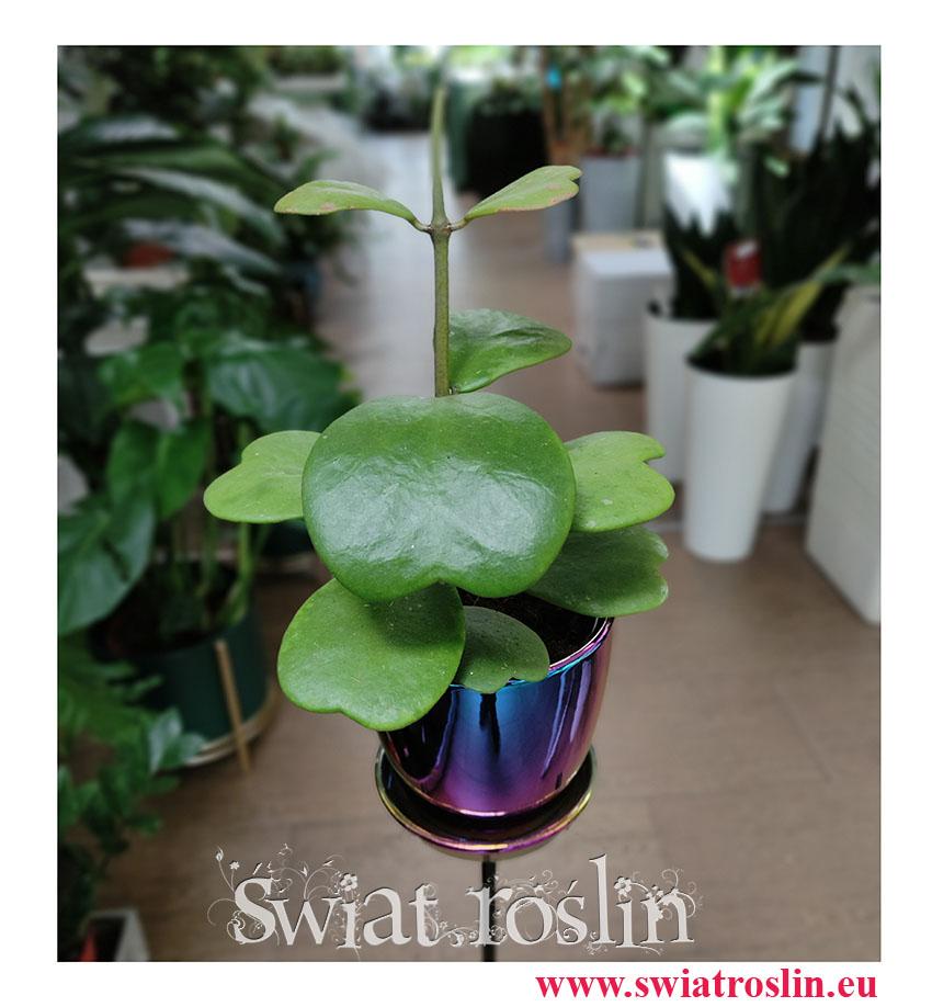 Hoya Kerrii, Hoja Kerrii, Hoya Hearts, Woskownica, rośliny tropikalne, rośliny egzotyczne