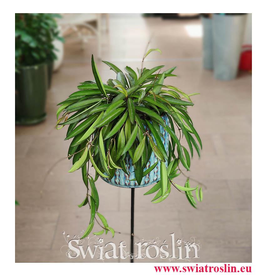 Hoya Wayetii, Hoja Wayetii, sklep z roslinami online, iternetowy sklep z roślinami