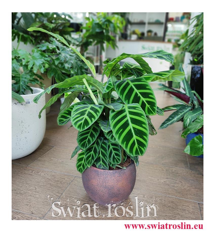 Kalatea Zebrina, Calathea Zebrina, Ostrzeszyn, Duża roslina doniczkowa, popularna roślina doniczkowe, modna roślina doniczkowa