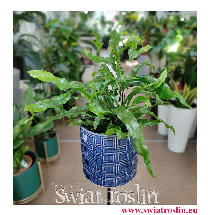 Mikrosorum Diversifolium, Microsorum Diversifolium, Paproć Kangurza, rośliny do biura, rośliny na zielony parapet