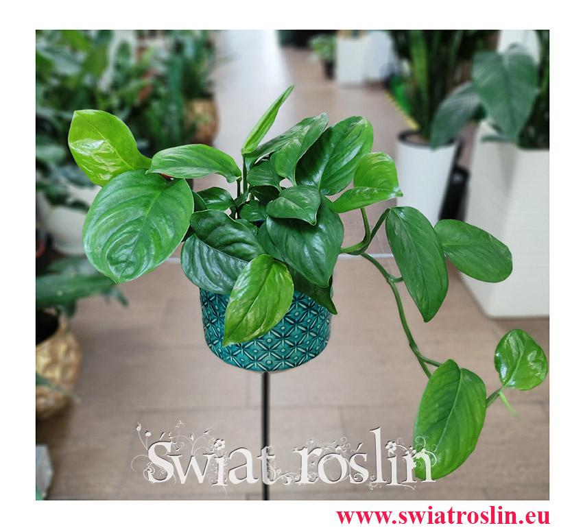 Monstera Friedrichsthalii, rośliny egzotyczne, rośliny tropikalne, rośliny do biura, pnącza