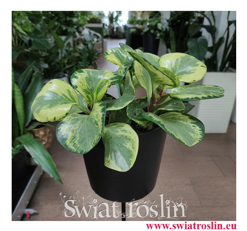 Peperomia Obtusifolia Golden Gate, Peperomia Tępolistna, Pieprzówka, rośliny egzotyczne, rośliny do biura, rośliny na parapet