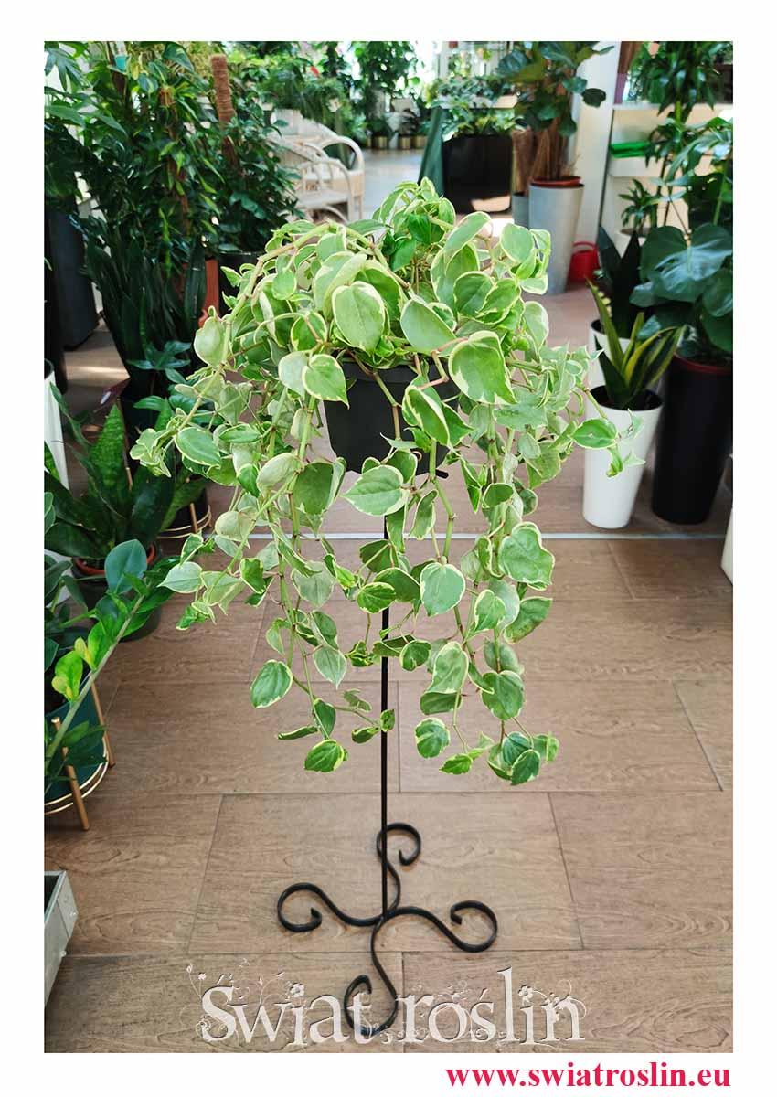 Peperomia Scandens Variegata, sklep z roślinami online, internetowy sklep z roślinami
