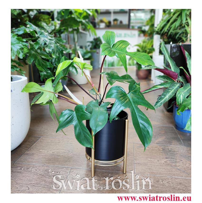Philodendron Pedatum, Filodendron Pedatum, Filodendron Postrzępiony, Philodendron Florida Green, pnącze, modne rośliny doniczkowe
