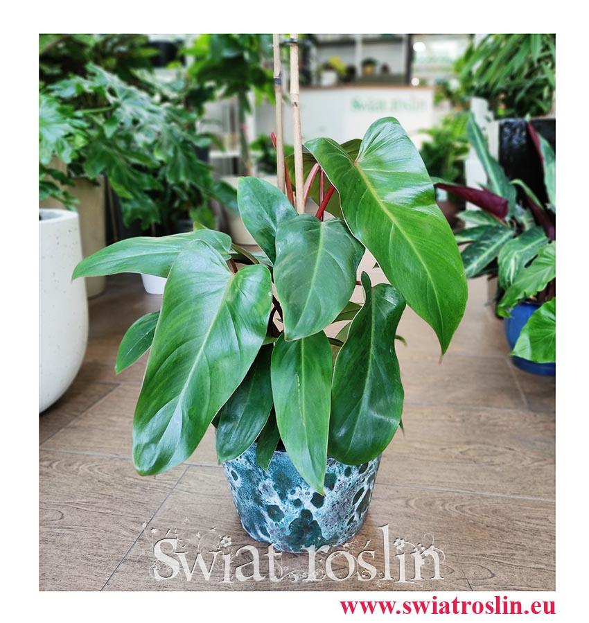 Philodendron Red Twins, Filodendron Red Twins, pnącze, tropikalne pnącza, egzotyczne pnącza, sklep online