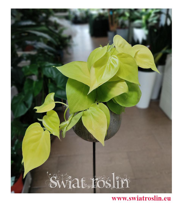 Philodendron Scandens Lime, Filodendron Scandens Lime, Philodendron Hederaceum, Filodendron Hederaceum, rośliny kolekcjonerskie
